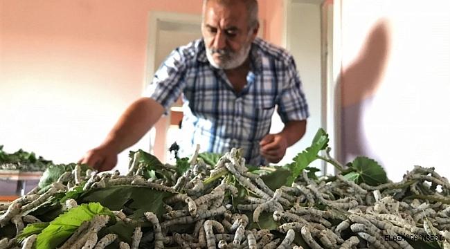 Elazığ'da muhtar, teşvik için İpek böcekçiliği yapmaya başladı